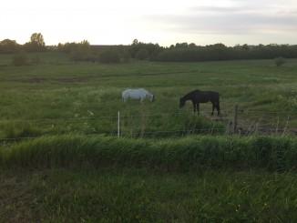 Hästarna på sommarbete